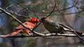 Cardinalis cardinalisn033158