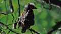 Agelaius phoeniceusn038450