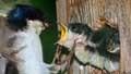 Tachycineta bicolorn039642