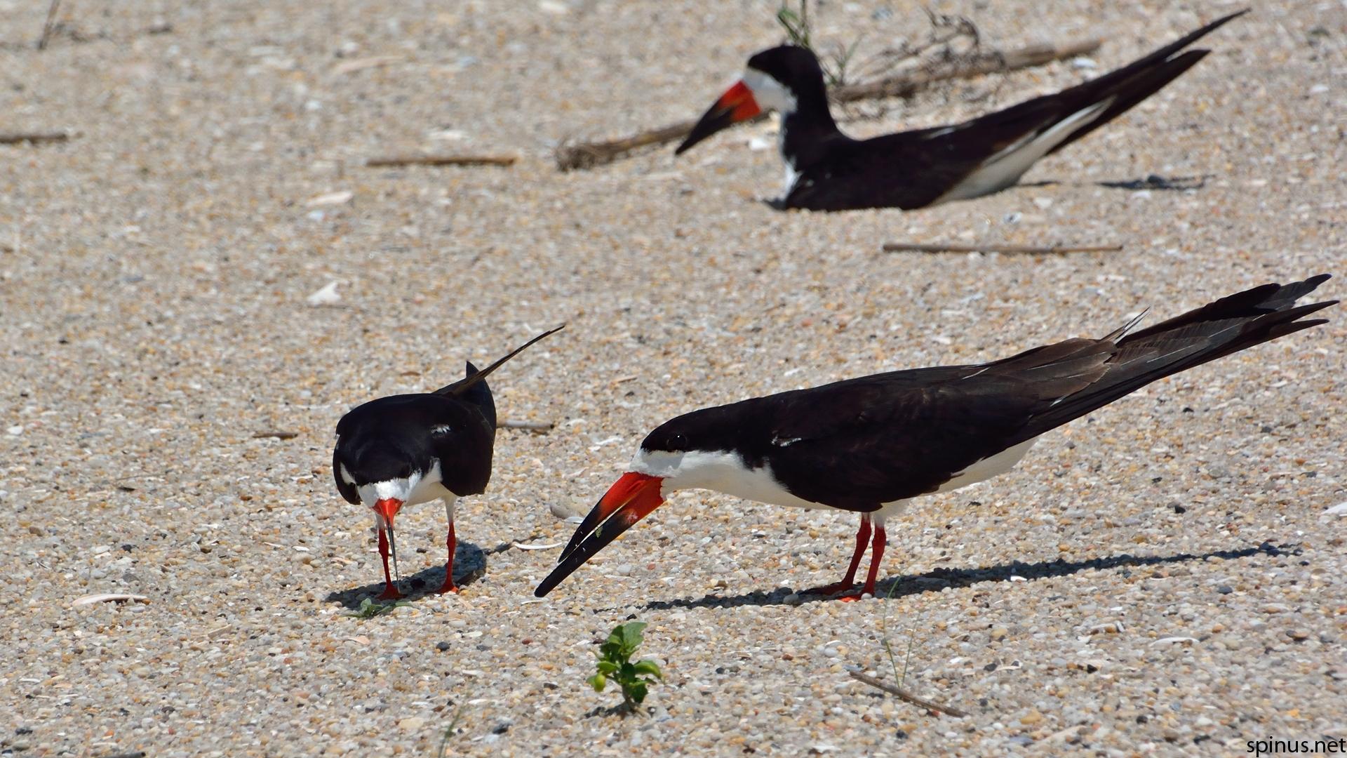 Black skimmer   Rynchops niger   Spinus Nature Photography