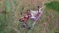Argiope aurantiap110112