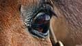 Equus ferus caballusn031705