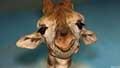 Giraffa camelopardalisn061561