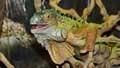 Iguana iguanan035787